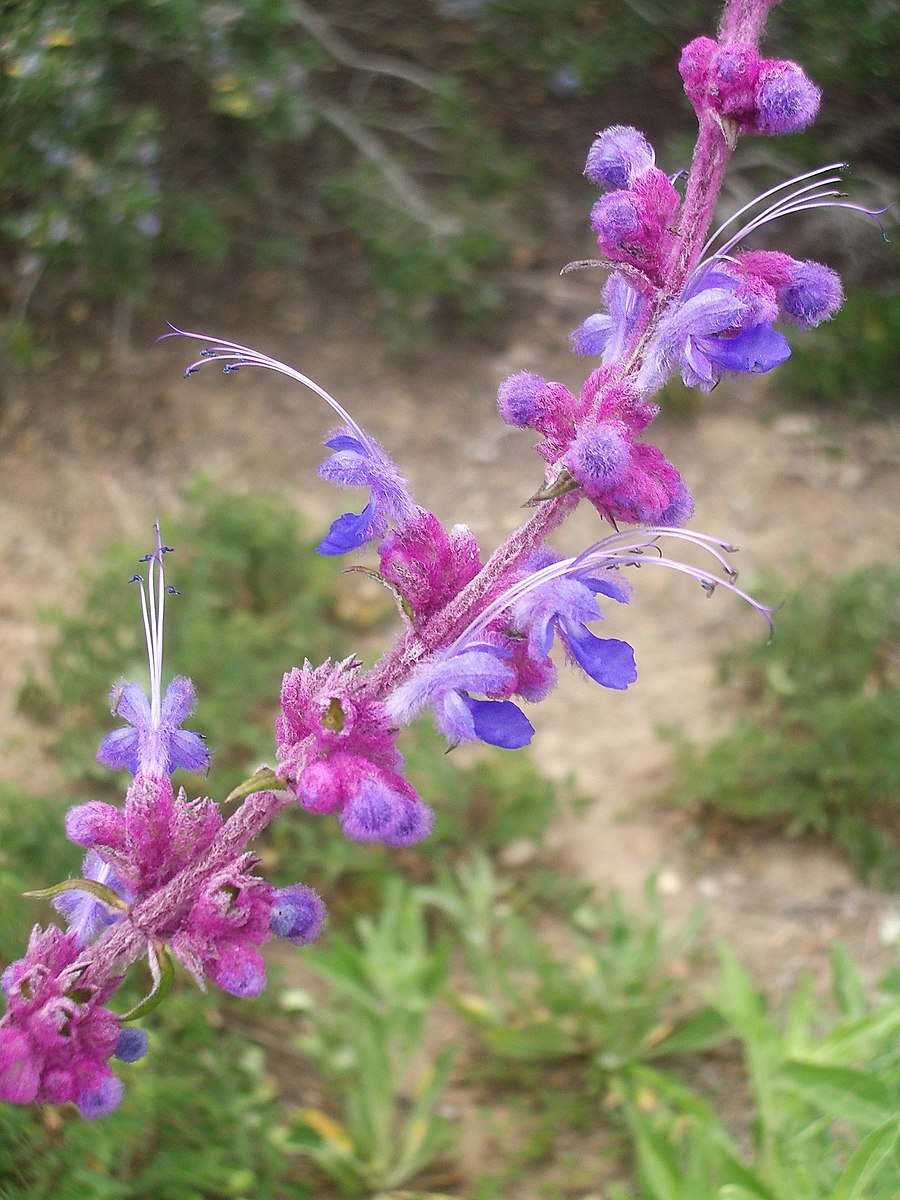 "Wooly Blue Curls (Trichostema lanatum)  ""Trichostema lanatum.jpg""  by The Marmot is licensed under  CC BY 4.0"