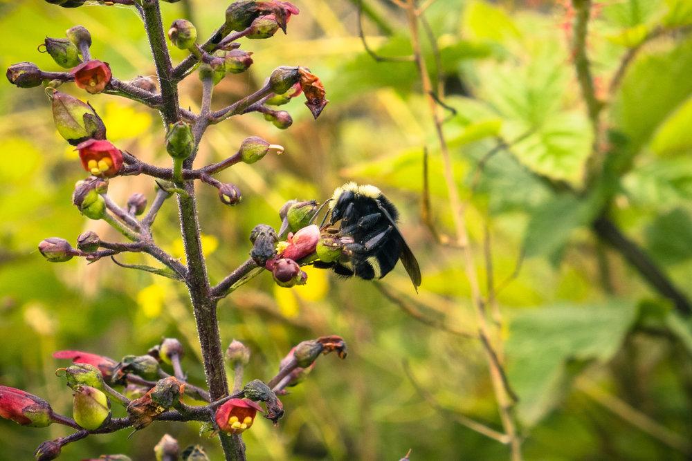 Shutterstock Scrophularia bee.jpeg