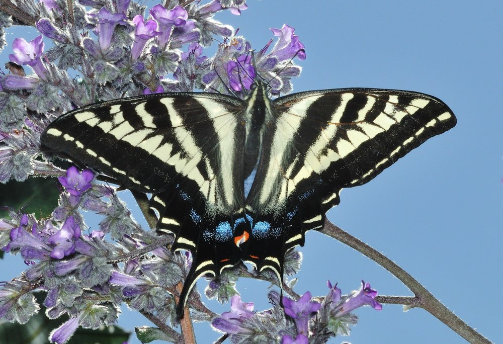 Papilio rutulus on Eriodictyon crassifolium. Photo: Bob Parks