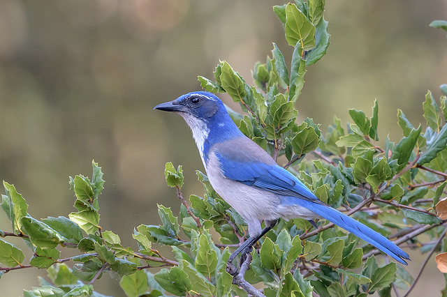 California Scrub Jay (Aphelocoma californica) Photo by Becky Matsubara