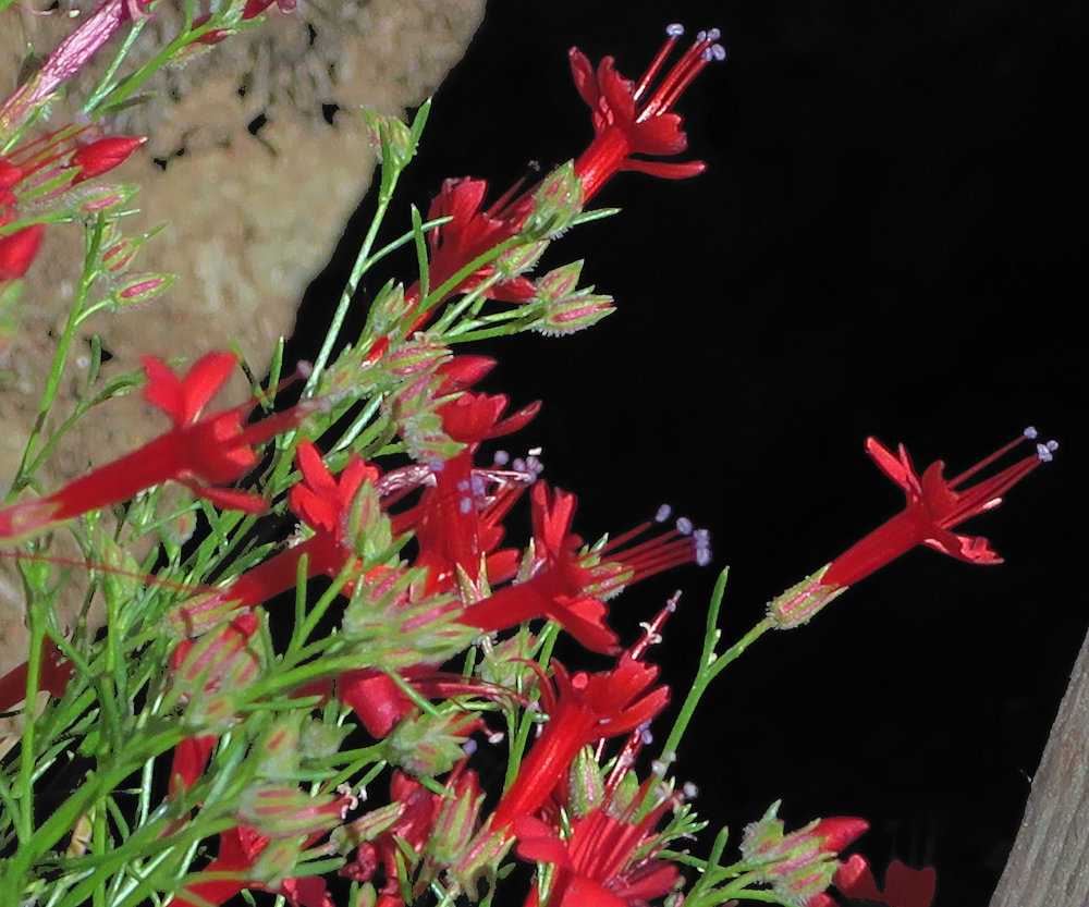 Slender-leaved Ipomopsis (Ipomopsis tenuifolia) PC: John Rusk https://www.flickr.com/photos/john_d_rusk/27891012201