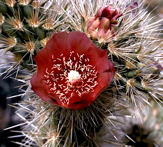 Wolf's cholla (Cylindropuntia wolfii) PC: Fred Roberts