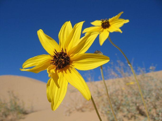 Algodones Sunflower (Helianthus niveus ssp. tephrodes) PC: Jordan Zylstra
