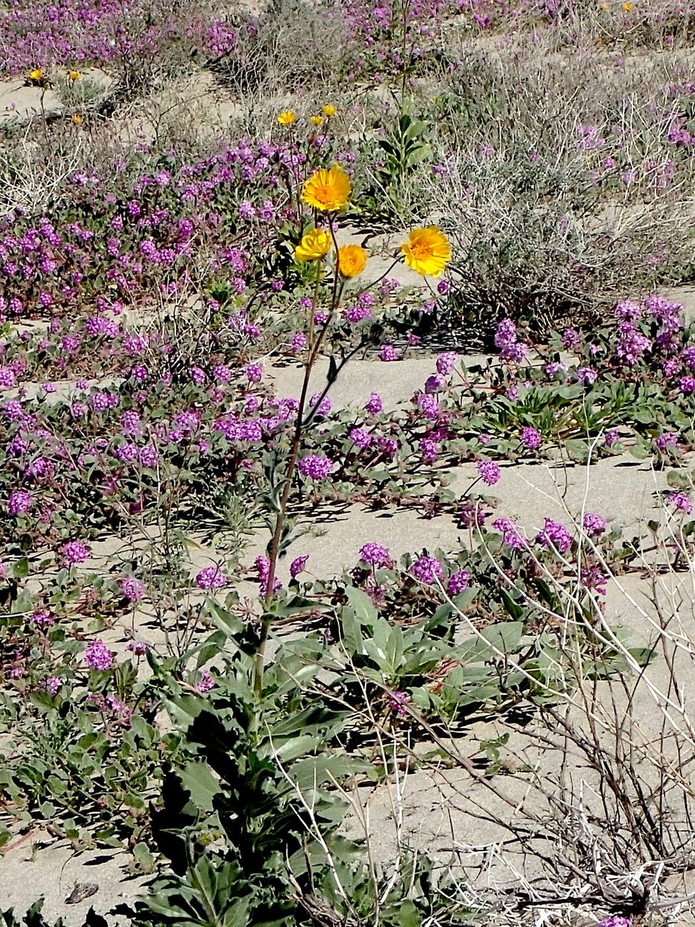 Hairy Desert Sunflower (Geraea canescens) and Sand Verbena (Abronia villosa) PC: Lee Gordon