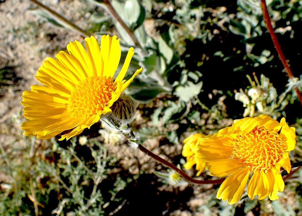 Hairy Desert Sunflower (Geraea canescens) PC: Lee Gordon