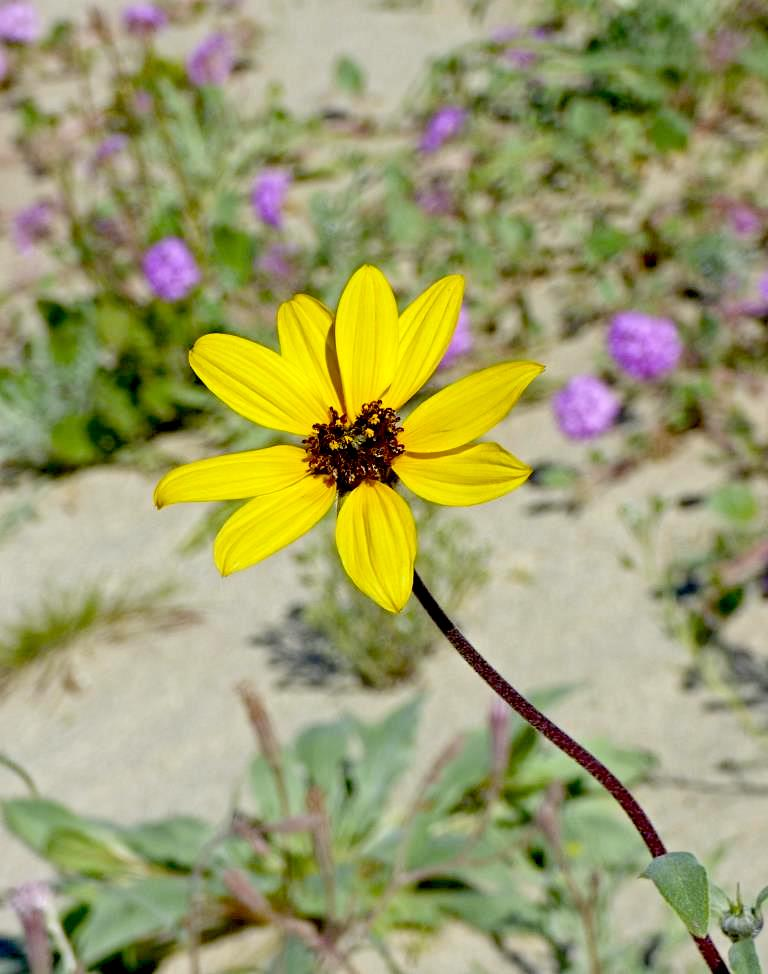 Dune Sunflower (Helianthus petiolaris) PC: Juergen Schrenk