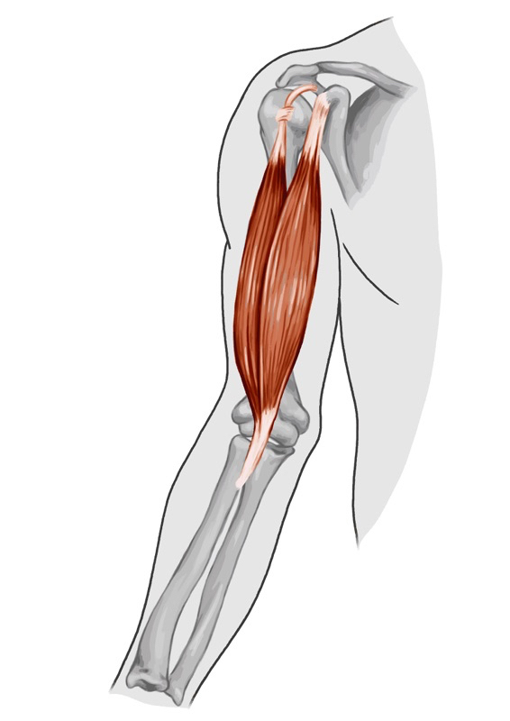 Biceps tendon anatomy