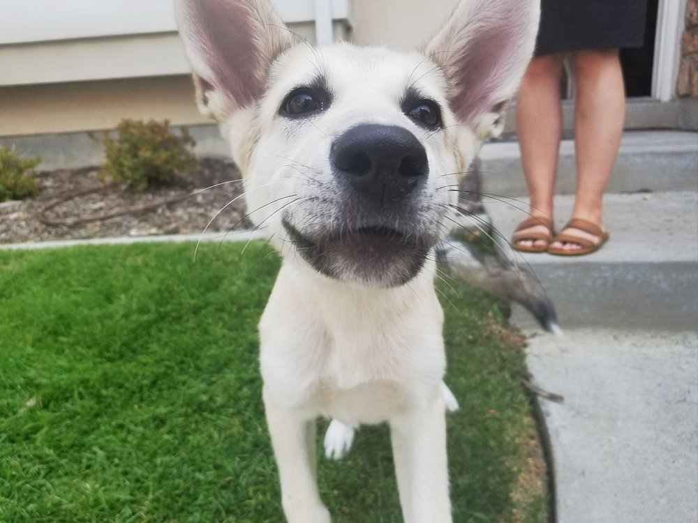 dog training obedience orem trainer.jpg