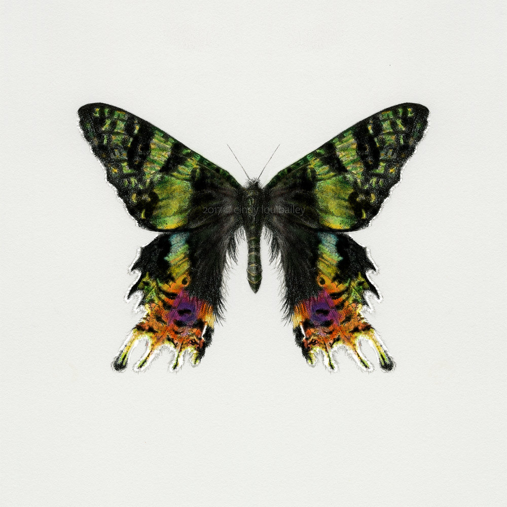 Colorful Madagascan Sunset Moth
