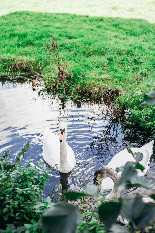 Swans-OmnomMagazine