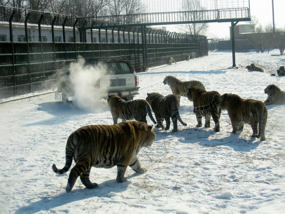 Hungry tigers at Harbin's Siberian Tiger park