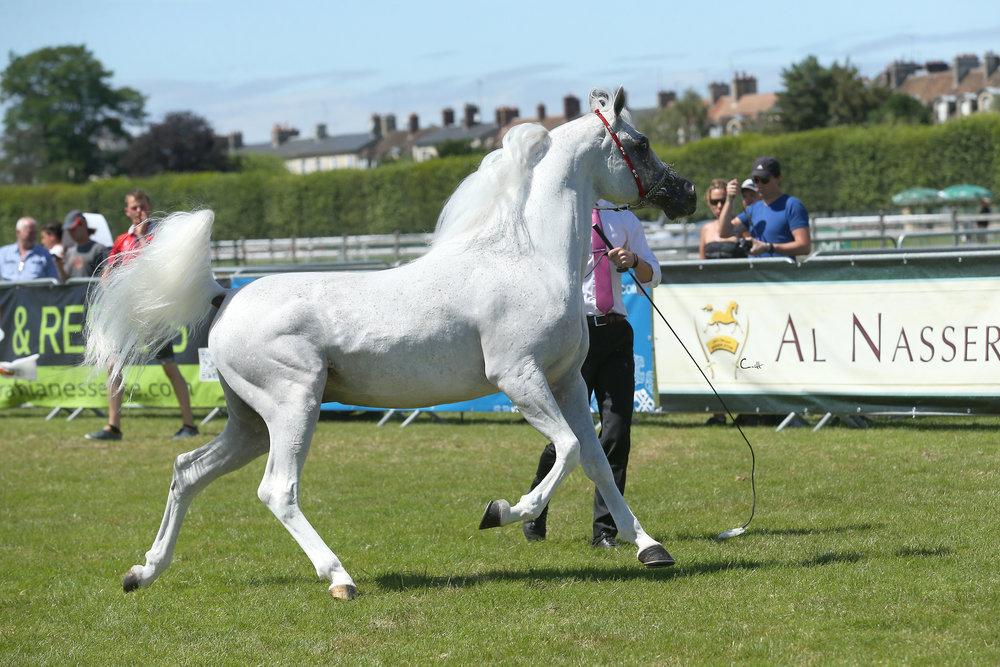 arabian-horse-show-al.fakhir