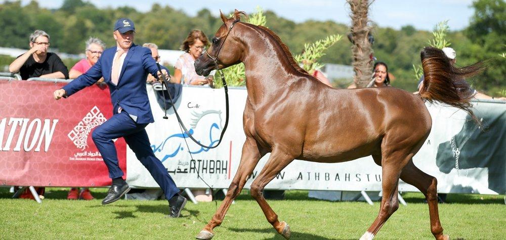 Pour la 6ème année consécutive, la ville de Chantilly accueille deux prestigieux concours internationaux des éleveurs des chevaux pur-sang arabe.