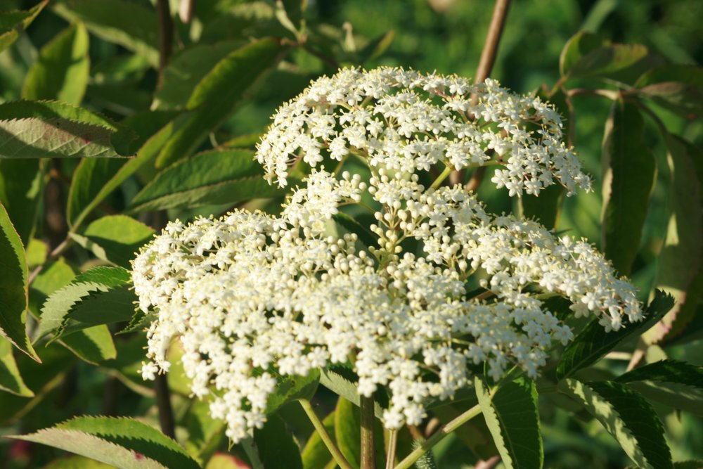 Cultivated Elderberry umbel