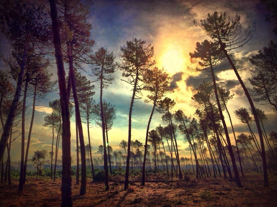 Landscape 749 Pines trees