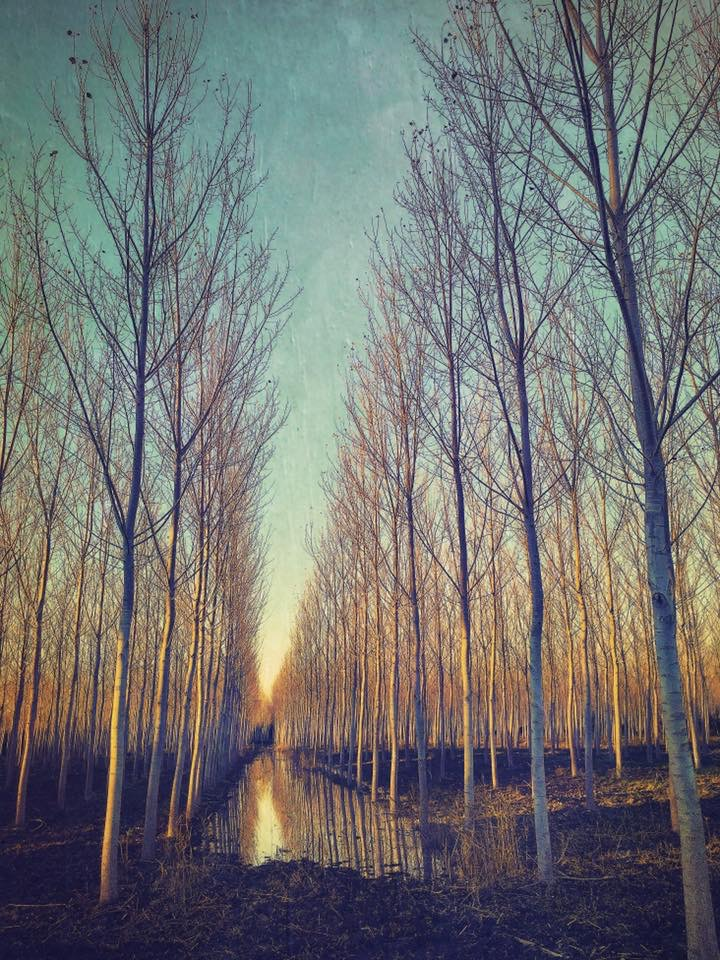 Landscape 1227 Poplars
