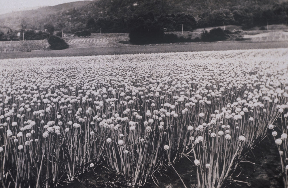 Onion Fields