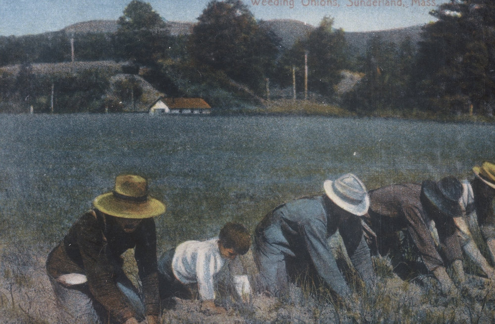 Farmers weeding onions