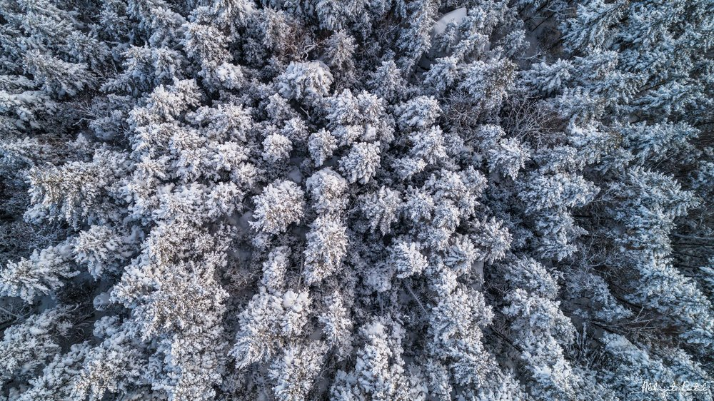 Snow_tree_tops.jpg