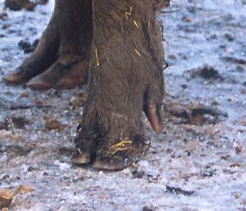 Sow-foot.jpg