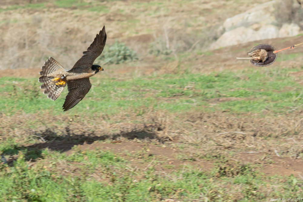 Rubino  Peregrine Falcon Pancho chasing lure 20160109 Hawkwatch Ramona Grasslands CA 1206-2 (2).jpg