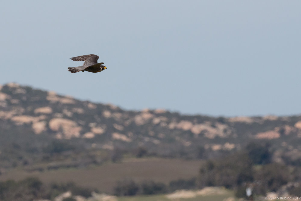 Rubino 3 Pancho in flight about to meet the defending Red tailed Hawk 20170225 HawkWatch Ramona CA 2017 455.jpg
