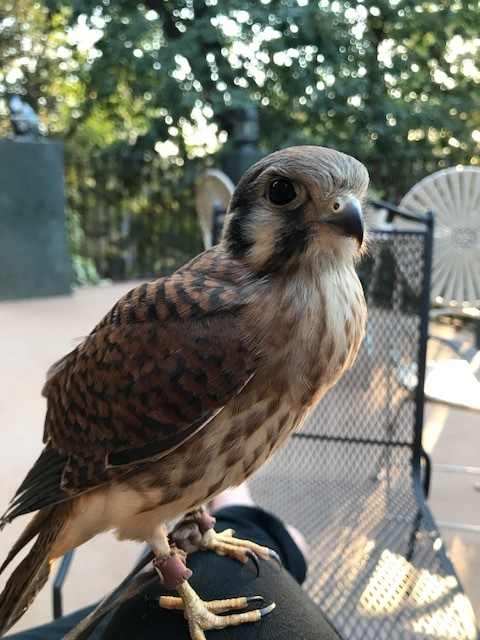 Bell is a female North American Kestrel. They are the smallest and most colorful falcons in North America. With her long slender wings she packs a predator's fierce intensity into a small body. Bell has some amazingly colorful markings and a kind temperament. -