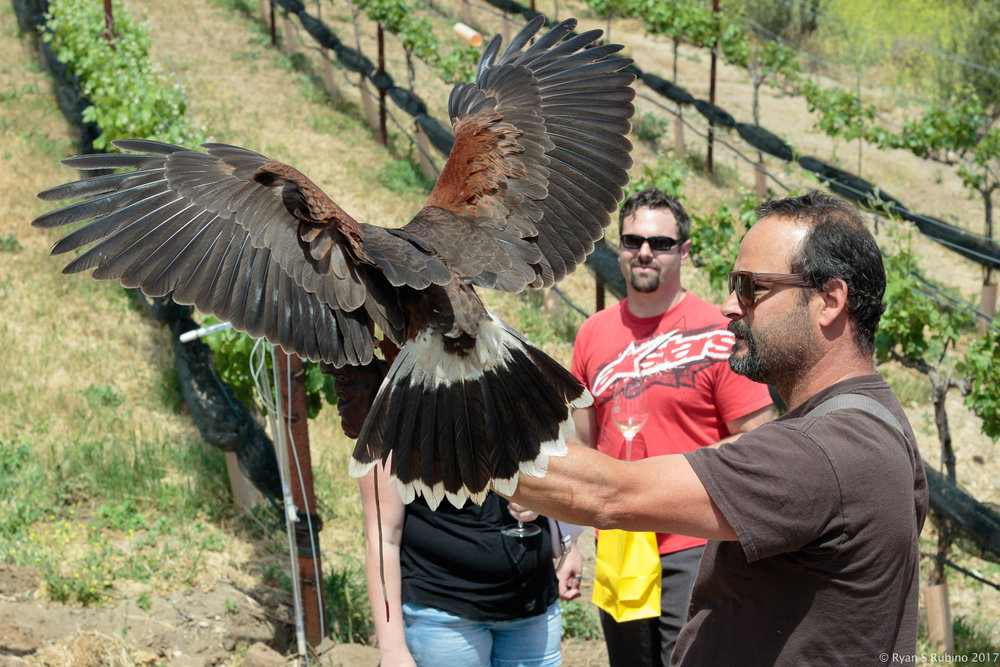Rubino Harris Hawk Talons Ramona Ranch Winery 20170422 Ramona Ranch Winery CA 056(1).jpg