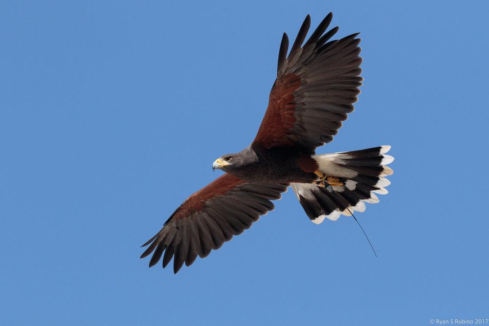 Rubino Harris's Hawk Julian in flight 20170917 Talons LLC Vineyard Grant James 319.jpg