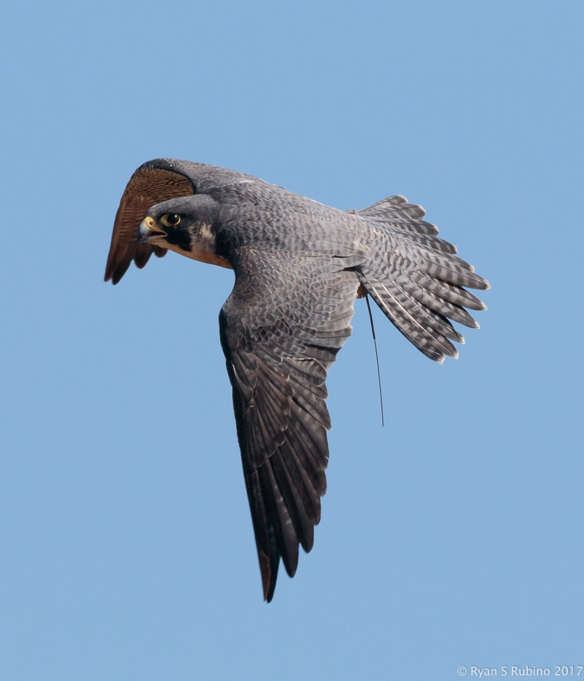 Rubino Peregrine Falcon Pancho in flight 20170917 Talons LLC Vineyard Grant James 397.jpg