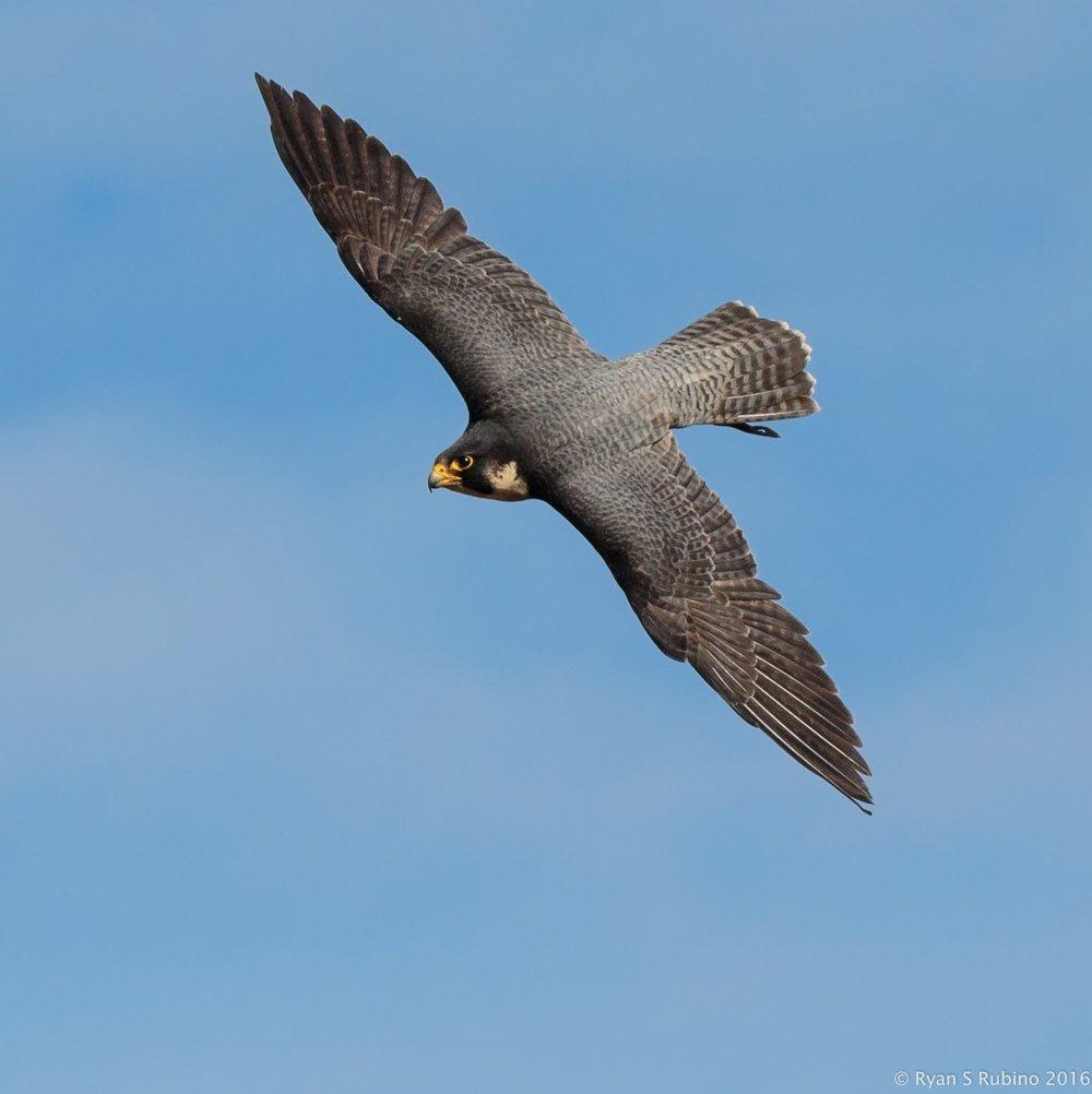 Rubino  Peregrine Falcon Pancho in flight 20160109 Hawkwatch Ramona Grasslands CA 1038.jpg