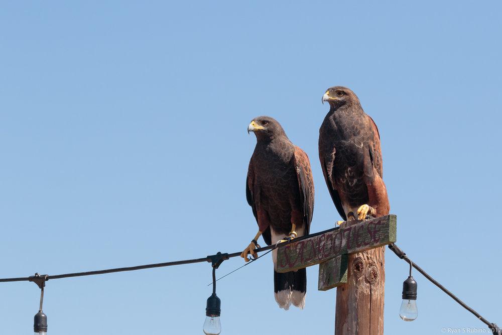 Rubino Harris's Hawks Julian and J.J. 20170917 Talons LLC Vineyard Grant James 384.jpg