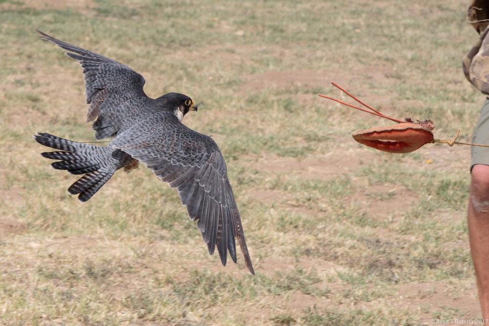 Rubino Peregrine Falcon Pancho lure flight 20170902 Julian Grape Stomp 426.jpg