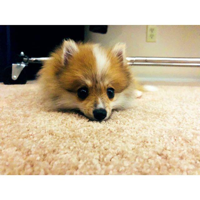 """. 可怜巴巴 · 二 This is the """"I did something wrong"""" face. @dameethepom #pomeranian #pompuppy #littlepoorthing #puppy #pomeranianpuppy #furball #dameethepom #tiredpuppy #lifewithdog"""