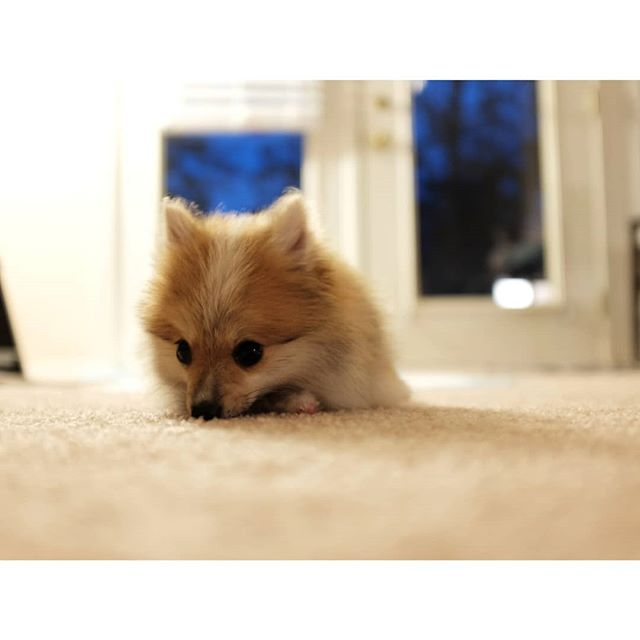. 可怜巴巴 · 一 You are dorable when you quite. @dameethepom #pomeranian #pompuppy #littlepoorthing #puppy #pomeranianpuppy #furball #dameethepom #tiredpuppy #lifewithdog