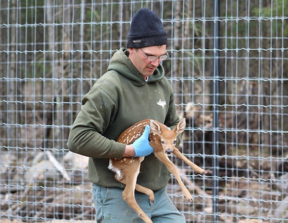 dan-carrying-fawn