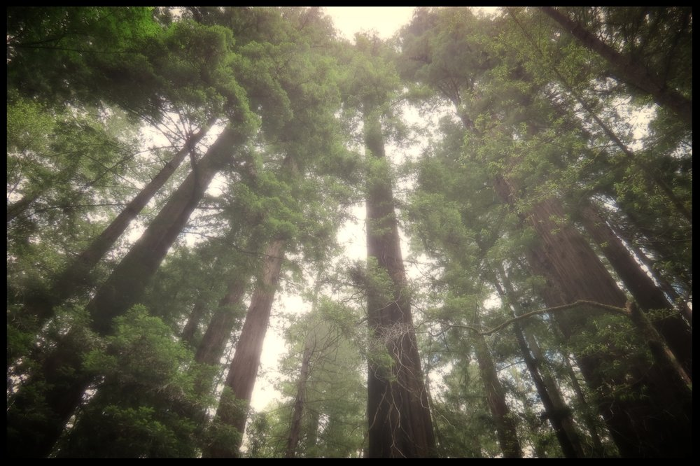 coast redwoods in northern california,2017.