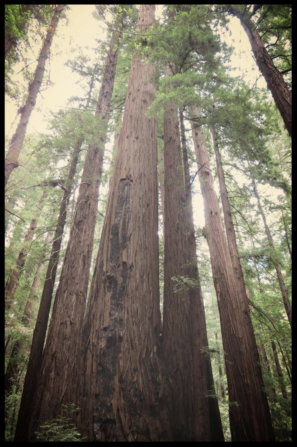 redwoods reaching toward the sky. contact me for information about fertility awareness, body literacy, childbirth education, lactation support, pregnancy loss and abortion support, herbalism.