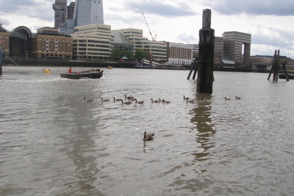 ducks thames