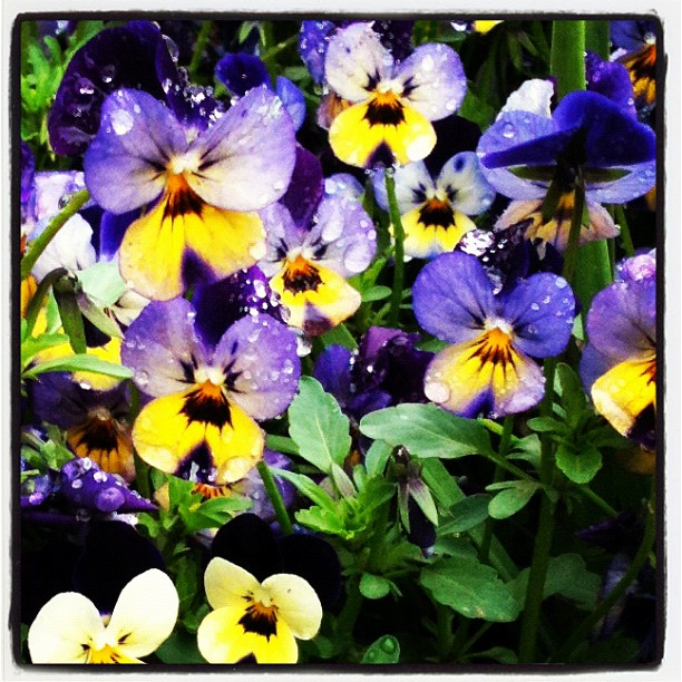 pansies at floriade