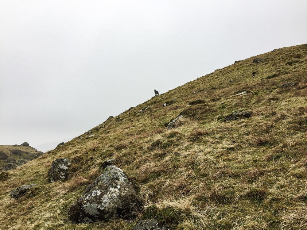 Mountain sheep looking at mountain human