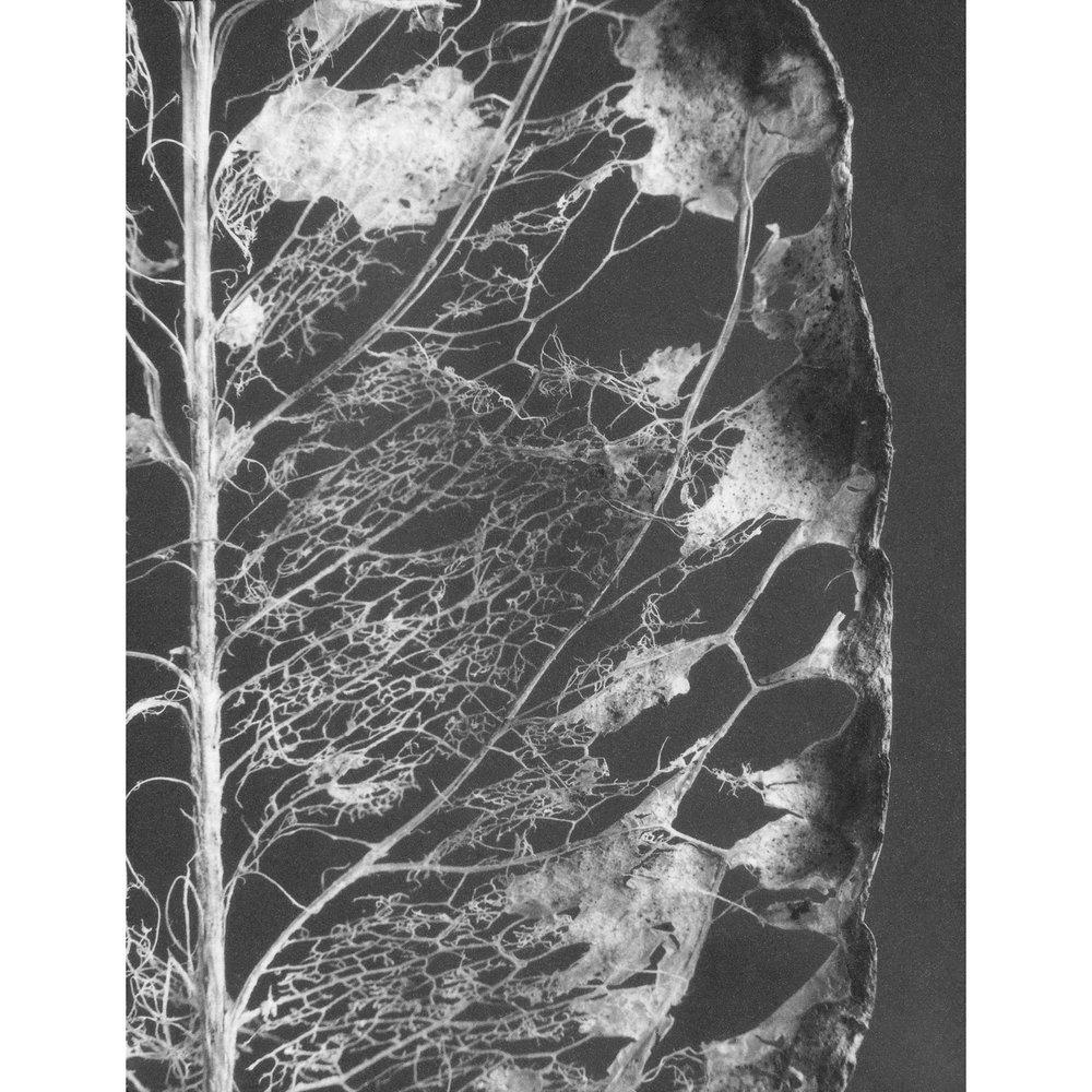 Decaying Leaf, 1995.jpg