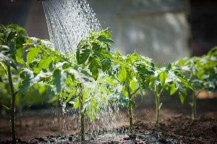 """Le '""""thé de compost"""" est un extrait liquide de compost. Il contient une grande diversité de microbes et de nutriments. Son utilisation vous permet de revitaliser votre terre et vos plantes.  En savoir plus..."""