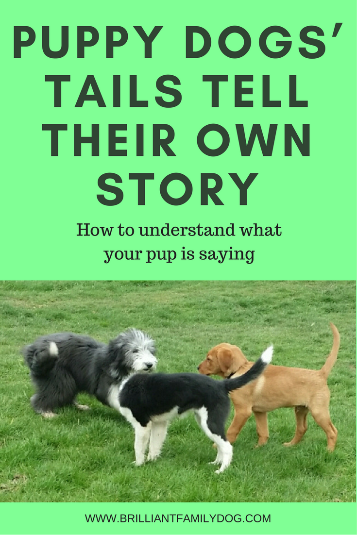 Dog training, new puppy, puppy training, dog behavior | Dogs' tails have their own dog body language | FREE EMAIL COURSE | #newpuppy, #dogtraining, #puppytraining, #dogbehavior | www.brilliantfamilydog.com