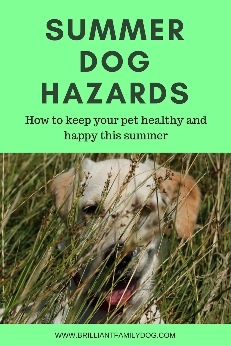 Dog training, new puppy, dog health | Summer dog hazards to be aware of | FREE EMAIL COURSE | #newpuppy, #dogtraining, #puppytraining | www.brilliantfamilydog.com