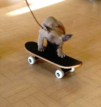 French Bulldog puppy on skateboard