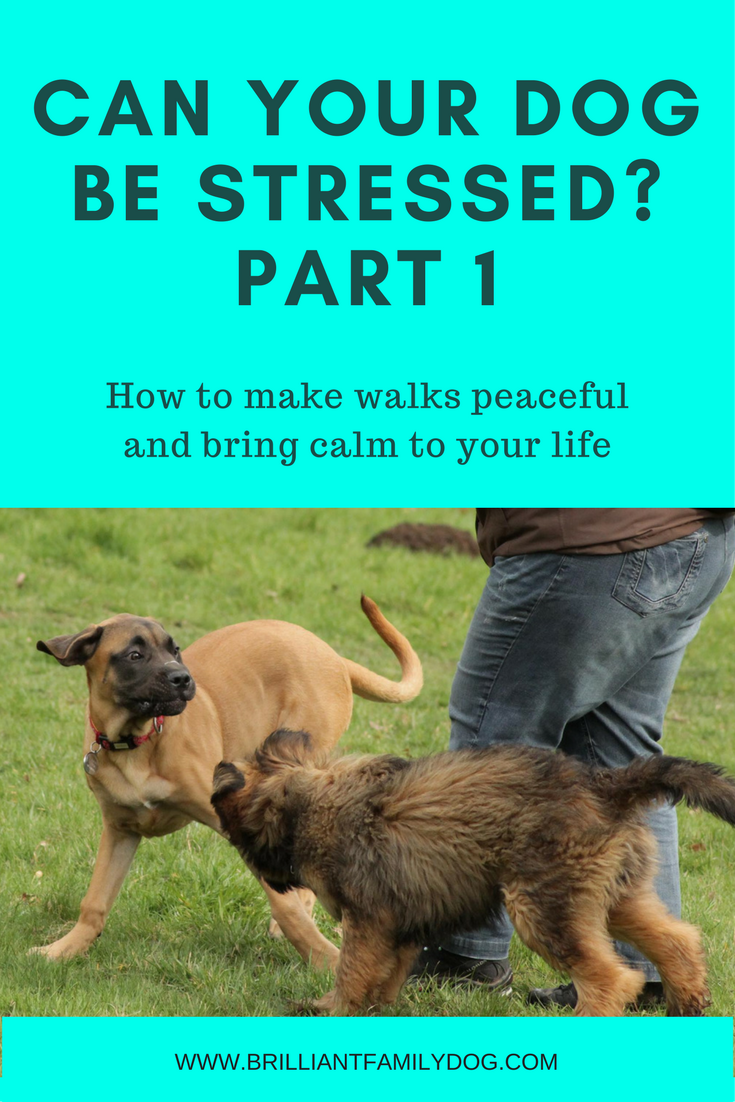 Dog training, new puppy, puppy training, dog behavior | Stress on dog walks - how to reduce stress | FREE EMAIL COURSE | #newpuppy, #dogtraining, #puppytraining, #dogbehavior | www.brilliantfamilydog.com