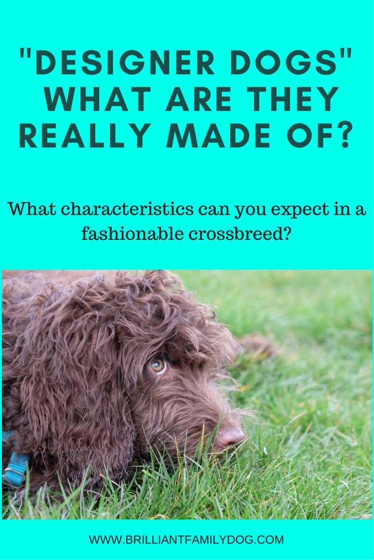 Dog breed, dog behavior, choosing a puppy | Designer dogs - what are they really made of? | LIST OF WHAT TO LOOK FOR IN A PUPPY | #newpuppy, #puppypottytraining, #puppytraining | www.brilliantfamilydog.com
