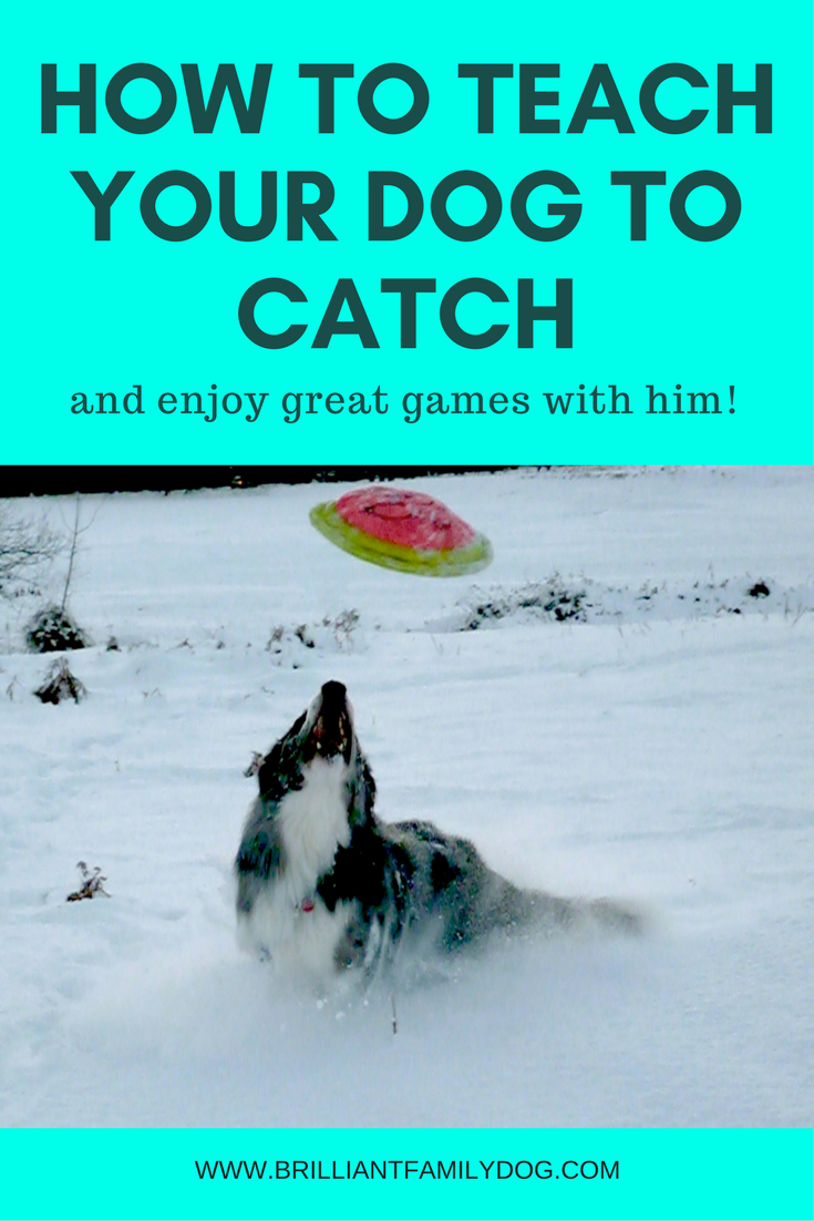 Dog training, new puppy, puppy training, dog behavior | Teach your dog to catch! | FREE EMAIL COURSE | #newpuppy, #dogtraining, #puppytraining, #dogbehavior | www.brilliantfamilydog.com