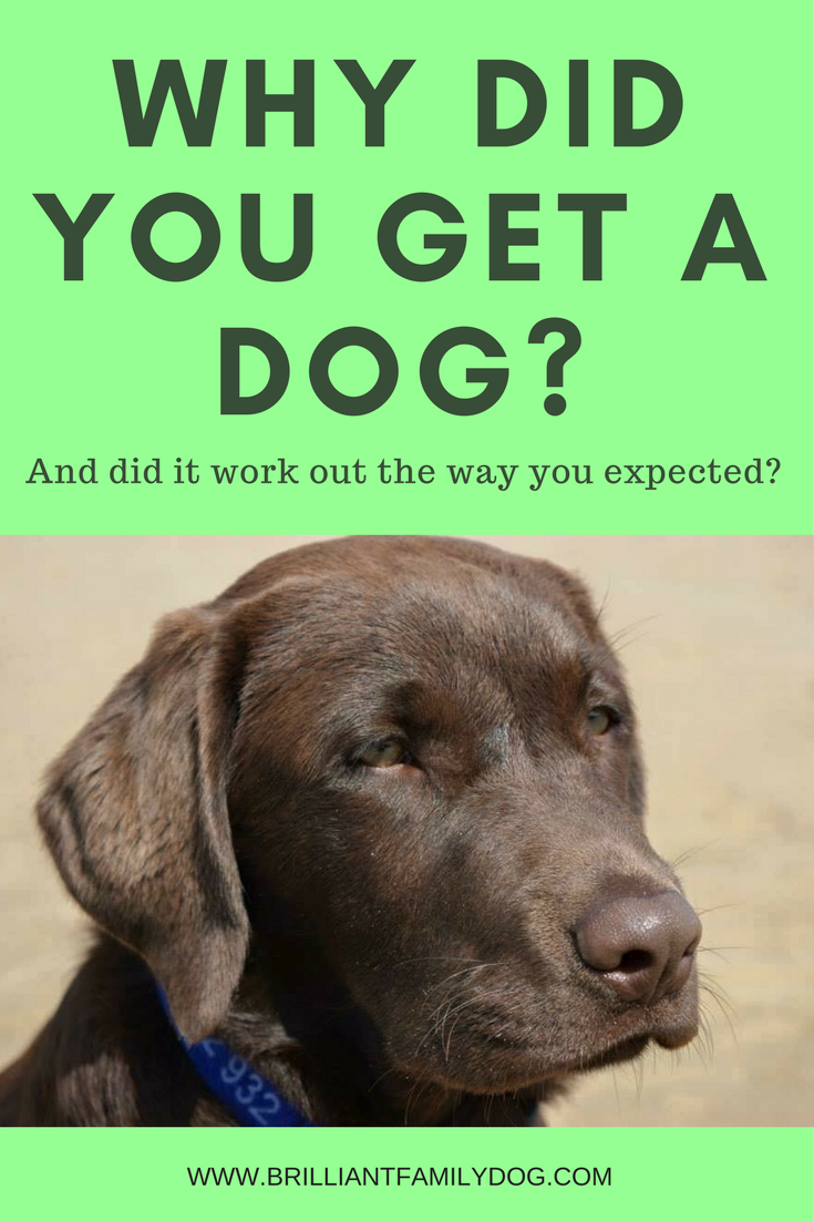 Dog training, new puppy, puppy training, dog behavior | Why did you get a dog? And did it work out the way you expected? | FREE EMAIL COURSE | #newpuppy, #dogtraining, #puppytraining, #dogbehavior | www.brilliantfamilydog.com